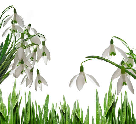 snowdrops and dewy grass photo