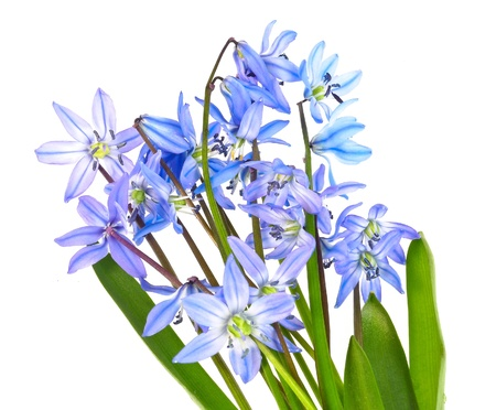 scilla  - blue spring flowers on white background photo