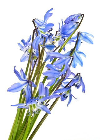 scilla  - spring flowers on white background Stock Photo - 12884414