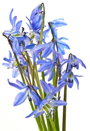 scilla  - blue spring flowers  Stock Photo - 12884415