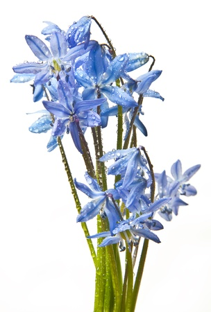 scilla  - blue spring flowers with dew drops Stock Photo - 12884418