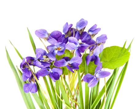 violets in a grass and white background Stock Photo - 12884420
