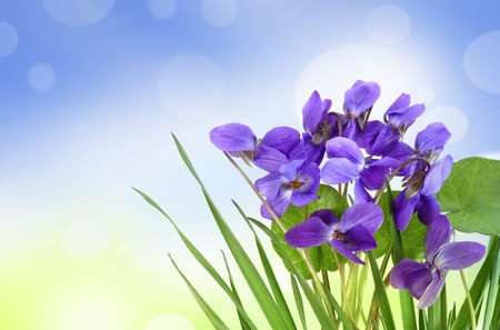violets in a grass and bokeh background photo