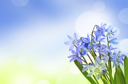scilla  - blue spring flowers on a bokeh background