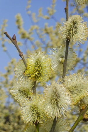 spring willow with catkins photo