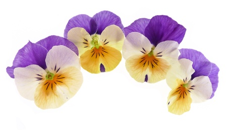 pansy flowers isolated Stock Photo - 12960955