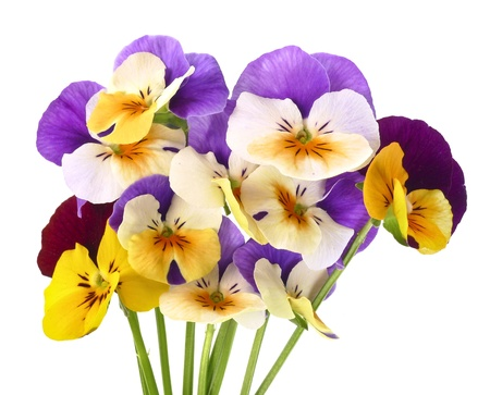pansy flowers on white photo