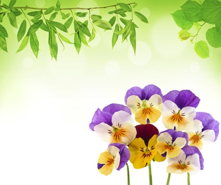 pansy flowers Stock Photo - 12960977