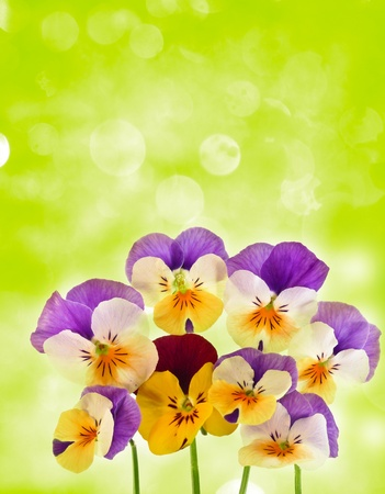 pansy and bokeh Stock Photo - 12960970