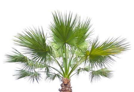palm isolated Stock Photo - 13319823