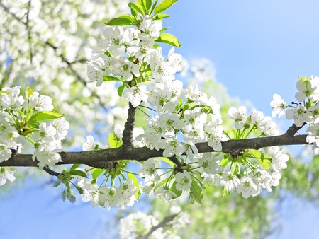 cherry tree with flowers in a sunny spring day Stock Photo - 13355906