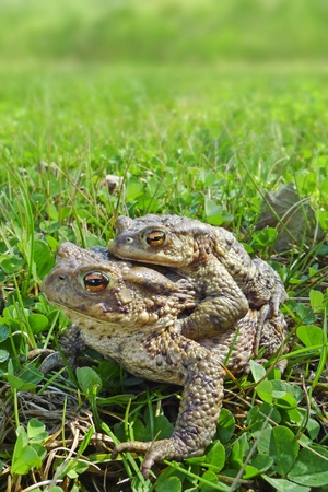 copulate: frogs - european toad (couple)