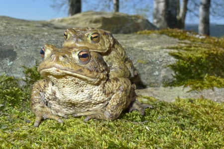 copulate: frogs - european toad  couple  in the springtime