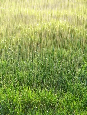 rain and wet grass - background photo