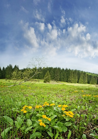 tree marigold: marsh marigols on spring meadow