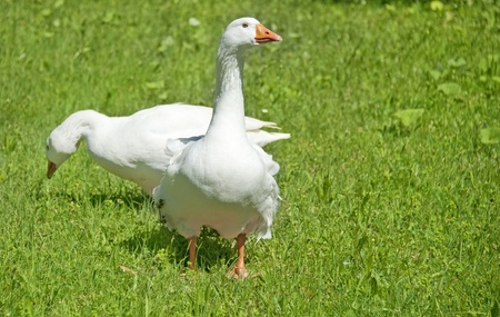 white domestic geese  photo