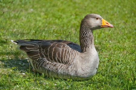 wild goose resting in grass photo
