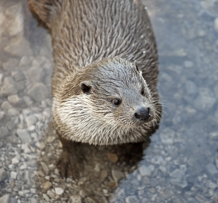 otter  in water photo