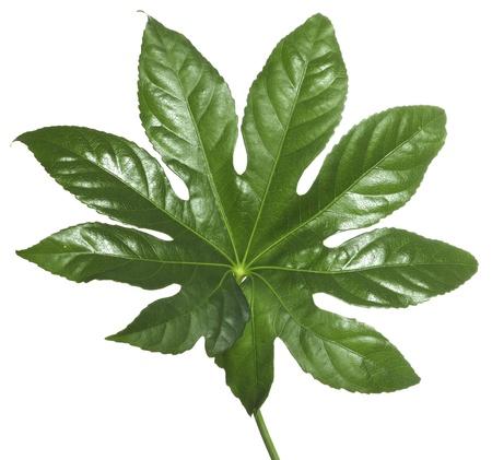 exotic green leaf isolated on white background Stock Photo - 13895933