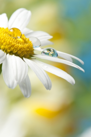 mirroring: daisy with dew drop with mirroring effect