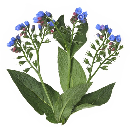 homeopathic: comfrey herb - Symphytum officinale Stock Photo