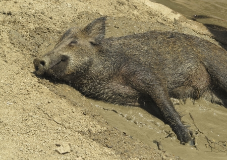 wild boar resting in the mud photo