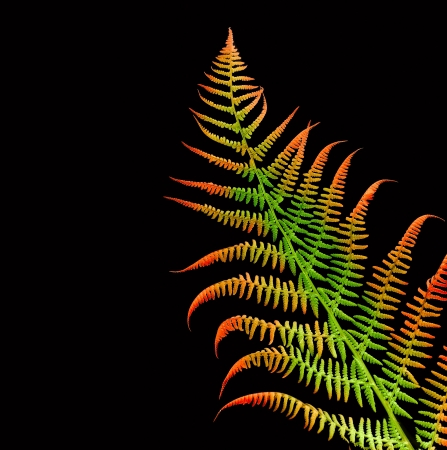 fern on black background photo