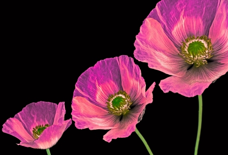 three poppie on black background photo