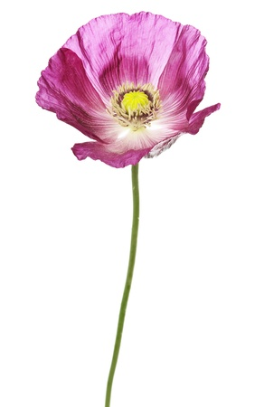 pink poppy isolated on white photo