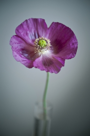 poppy flower in a vase and dark background photo
