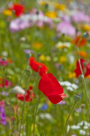 poppy flowers on a spring meadow photo