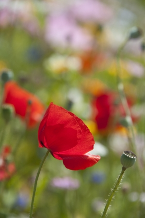 seed bed: poppy flower in detail  Stock Photo