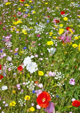 meadow flowers photo