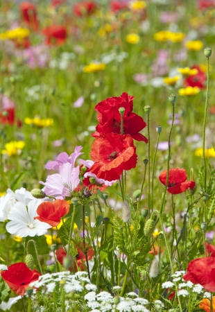 meadow with poppies photo