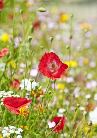 meadow with red poppies photo