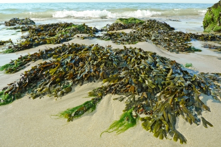 gröna alger på en strand och hav