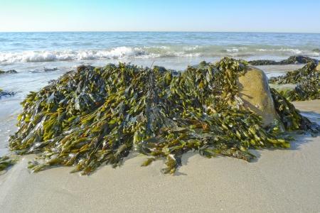 tide: seaweed on a beach and sea