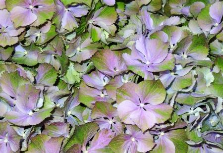 hortensia flowering - detail photo
