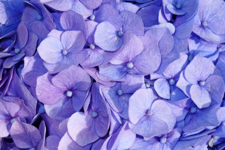 hortensia detail photo