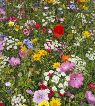 garden cornflowers: wild flower on a summer meadow Stock Photo