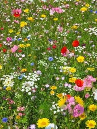 virágágy: vadvirág a réten