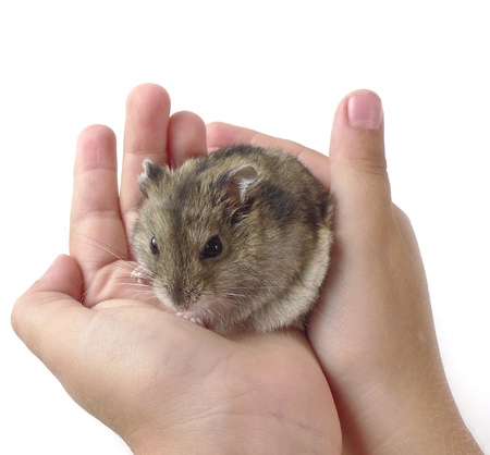 dwarf hamster: dwarf hamster in children hands - white background