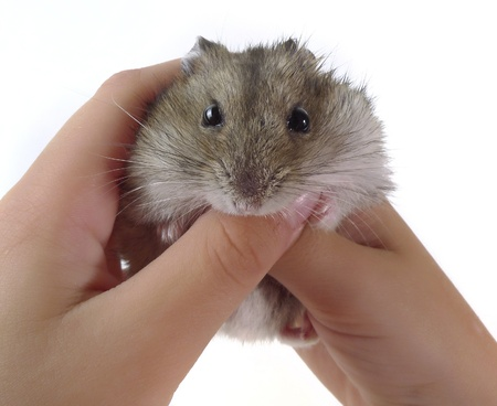 little dwarf hamster in children hands white background photo