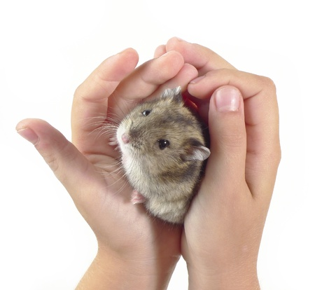 dwarf hamster: little dwarf hamster in children hands