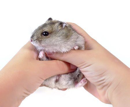 little dwarf hamster photo