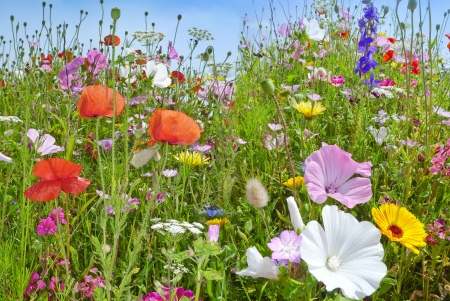 summer meadows flowers and blue sky photo
