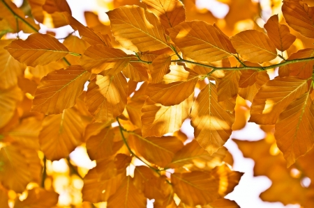 autumn red beech foliage photo