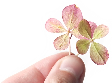 fingers with pink four leaf clover  photo