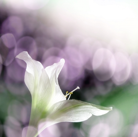amaryllis flower and bokeh photo