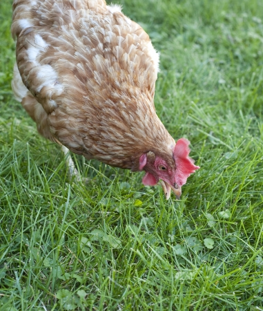hen in the garden Stock Photo - 14961293